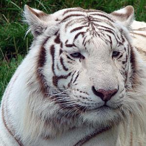 white tiger close up shot
