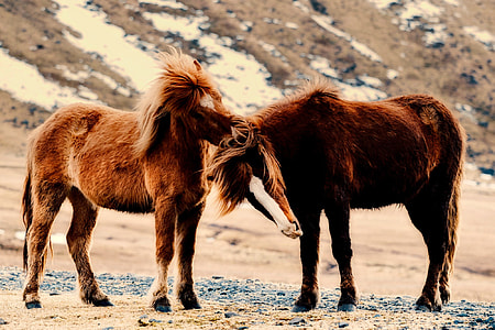 two brown ponies