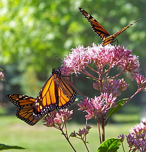 three orange-and-black butterflies on pink ixora flower during daytime selective focus photography