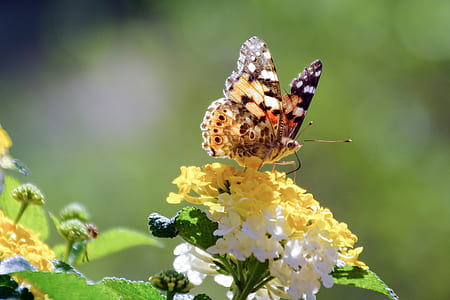 close up photography of painted lady butterfly on yellow and white cluster flower