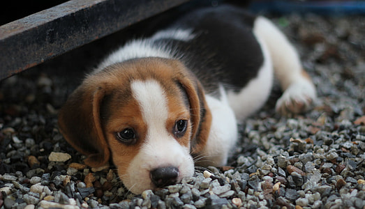 black, tan, and white beagle puppy lying down on gravel