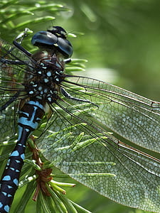 close up photography of black and blue dragonfly