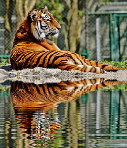 photo of tiger beside body of water