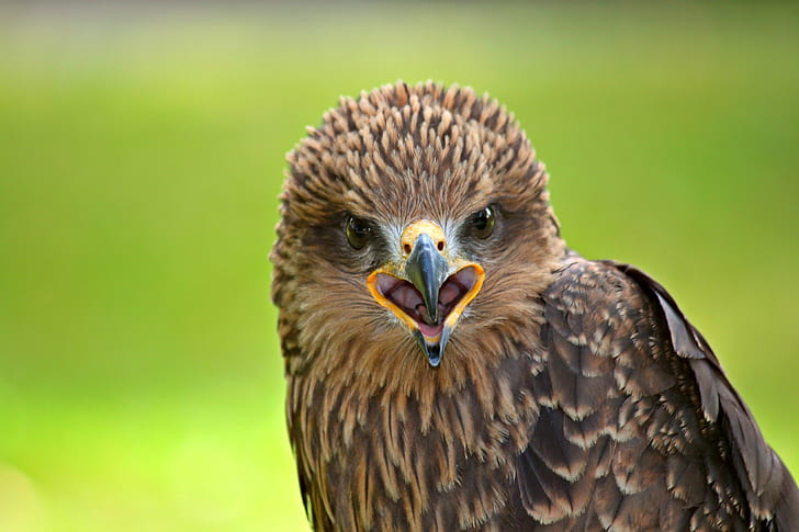 focus photography of brown hawk
