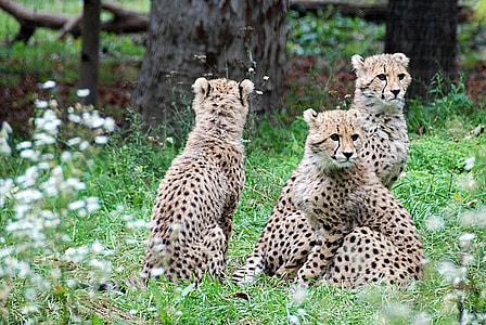 three cheetahs in green covered ground