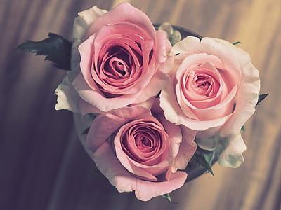 three pink petaled flowers