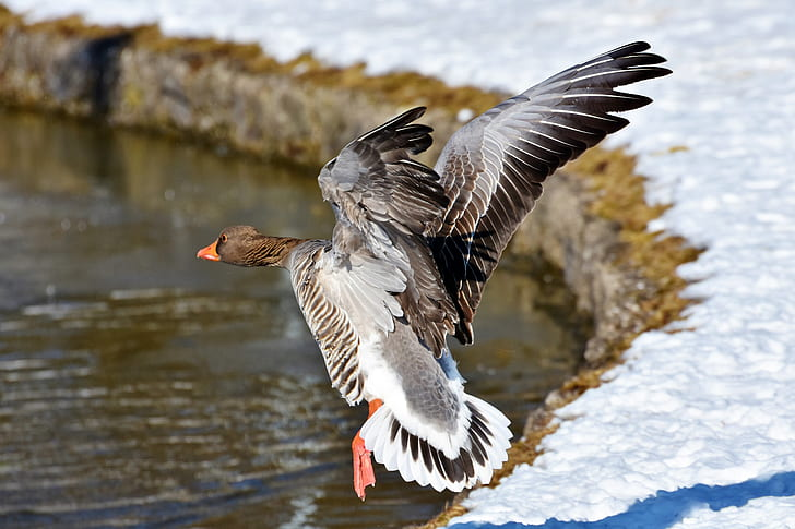 brown and white duck