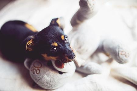 short-coated black and tan puppy near gray teddy bear