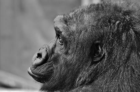 grayscale photo of chimpanzee