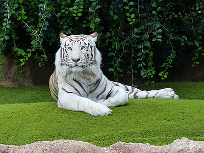 Albino tiger on green grass