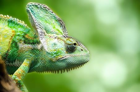 closeup photography of chameleon
