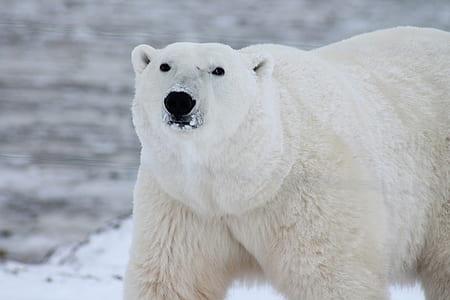 white Polar bear taken on winter time