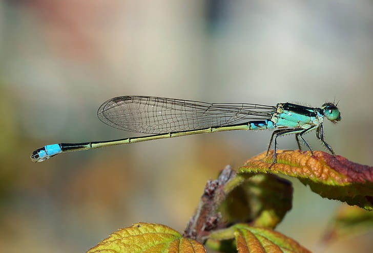 close-up photography of blue and green dragonfly on green leaf plant