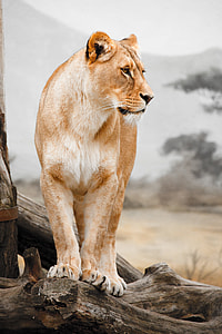 shallow focus photo of lioness on tree branch during daytime