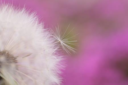 selective-focus white dandelion flower
