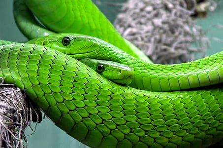 two green snakes on brown tree branch