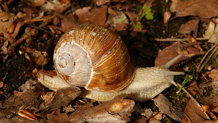 gray snail crawling on dry leaves