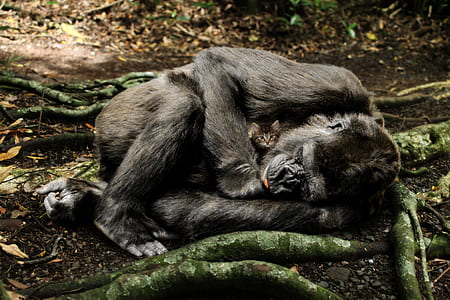 wildlife photography of black primate