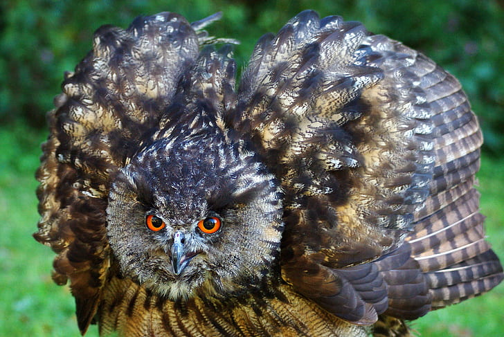 brown and black owl