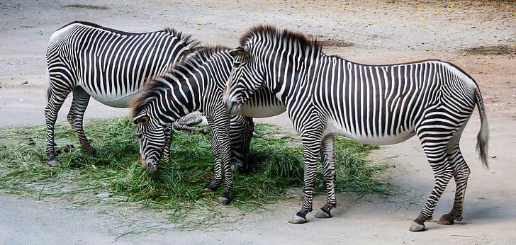 three black-and-white zebra eating green grasses