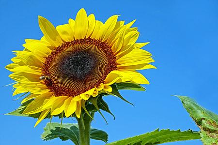 sunflower under blue sky