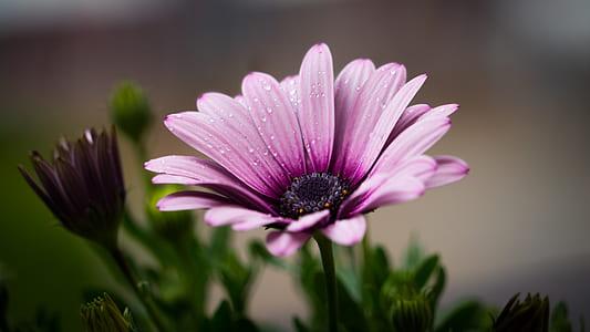 pink osteospermum flower closeup photo