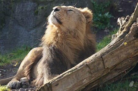 lion enjoying the wind breeze