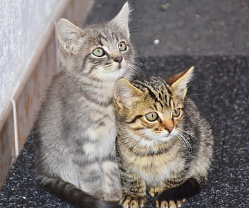 closeup of two silver and brown tabby kittens