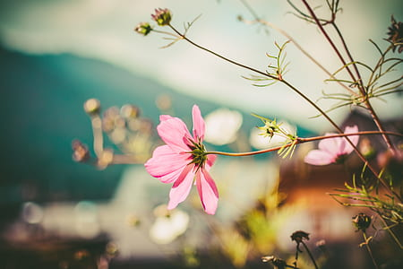 selective focus photography of pink cosmos flowers
