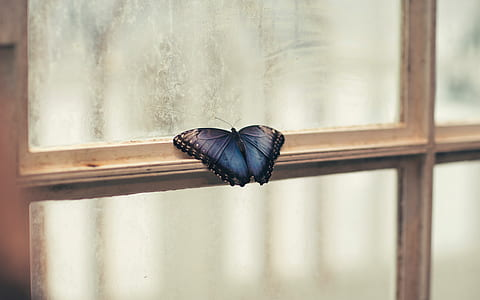 morpho butterfly perching on white wooden framed clear glass window