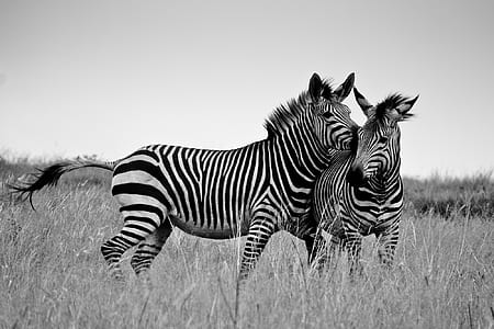greyscale photography of two white-and-black zebras