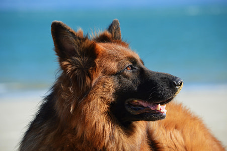 closeup photo of black and red German Shepherd