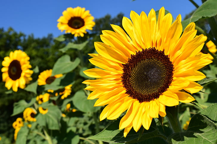 yellow Sunflowers in selective focus photography