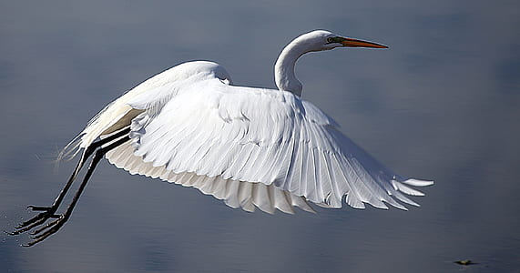 closeup photography of white long-beak bird flying