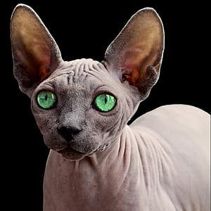 close up photo of Sphinx cat
