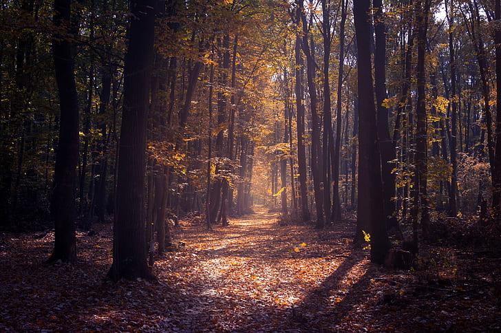 tree, woodland, path, track, leaves