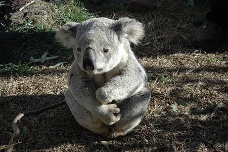 gray koala sitting on ground