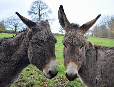 shallow focus of gray donkeys