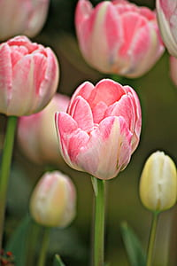 tulips, flowers, spring, plant, flora, nature