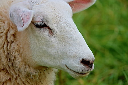 photo of white sheep