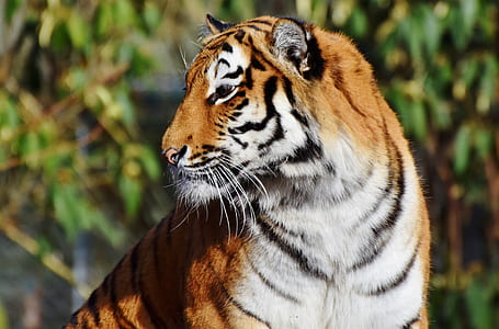 close-up photo of brown and white tiger