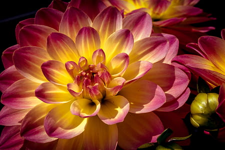 yellow and pink petal flower