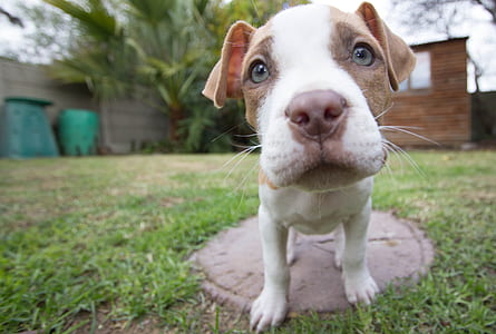 tan and white American pit bull terrier closeup photography