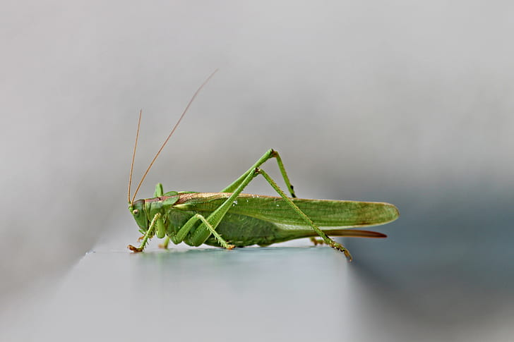 green grasshopper in selective focus photography