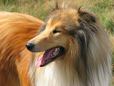closeup photography of rough collie