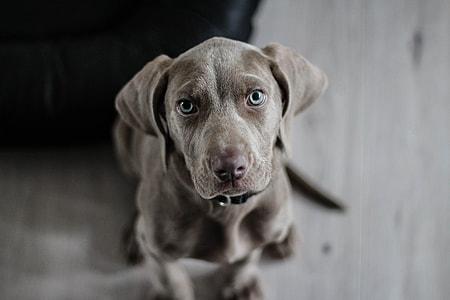 Lab Puppy Dog