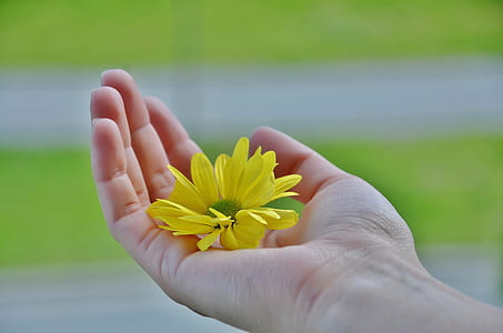 person holding yellow daisy