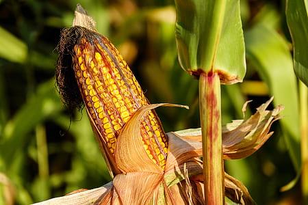 photo of yellow corn during daytime