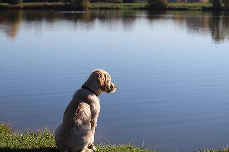 golden retriever puppy sitting on grass watching lake water during daytime