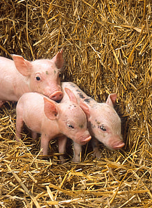 three pink piglets near brown hay